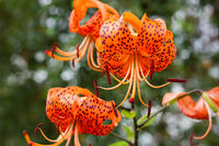 Tiger lily in the garden