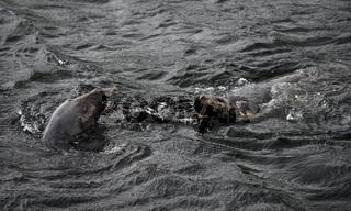 Grey Seals - Halichoerus grypus