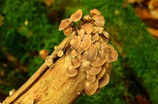 Langstielige oder Saitenstielige Knoblauchschwindling, Mycetinis alliaceus,