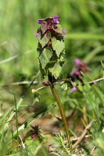 Purple Deadnettle, Lamium purpureum, Rote Taubnessel