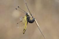 Crete Owlfly Ascalaphid, Libelloides rhomboides