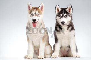 Two Siberian Husky Puppy isolated on White
