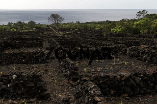 Landscape of the Pico Island Vineyard Culture, World heritage site, Azores