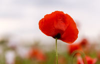 Red and white poppies against clear sky