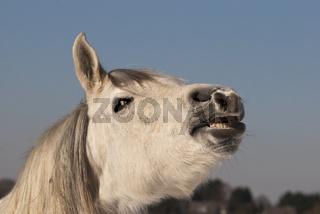 Flehmendes Pferd