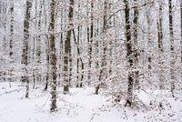 Verschneiter Buchenwald (Fagus)