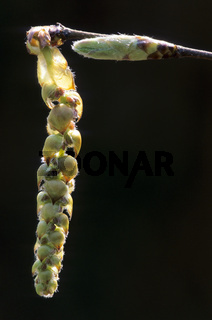 Hainbuche maennliche Bluete im Fruehling - (Weissbuche - Hagebuche) / European Hornbeam male blossom in spring - (Common Hornbeam) / Carpinus betulus