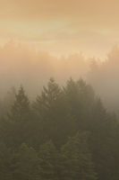 Spruce Forest in Mist at Sunrise