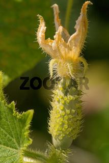 Flowering cucumber in the summer sunny garden. Macro close-up shot.