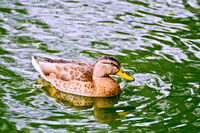 Duck wild in green water pond