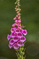 Red Foxgloves, Digitalis purpurea