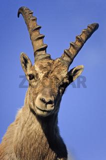 Alpensteinbock im Hochgebirge - (Gemeiner Steinbock) / Alpine Ibex buck standing in the high mountain range - (Steinbock) / Capra ibex