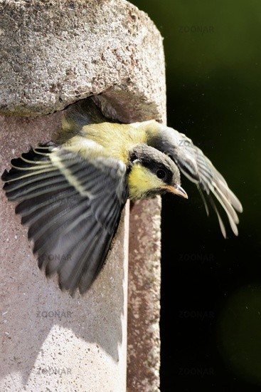 you great tit leaving the nest box