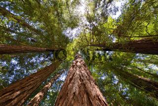 Küstenmammutbaum