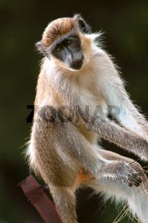 Green monkey in Senegal, Africa