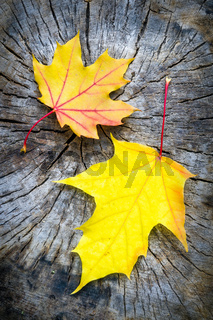Maple Leaf in Autumn (Acer platanoides)