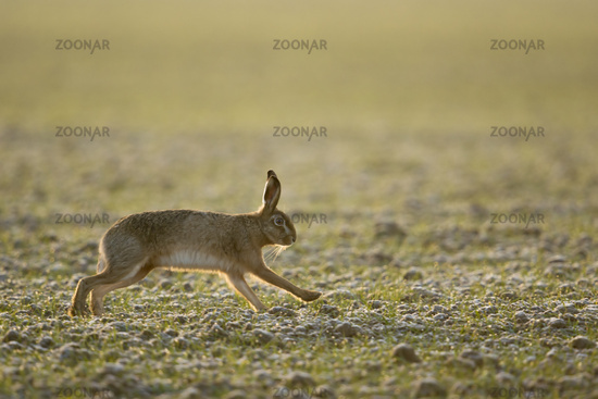 early in the morning... European Hare *Lepus europaeus*