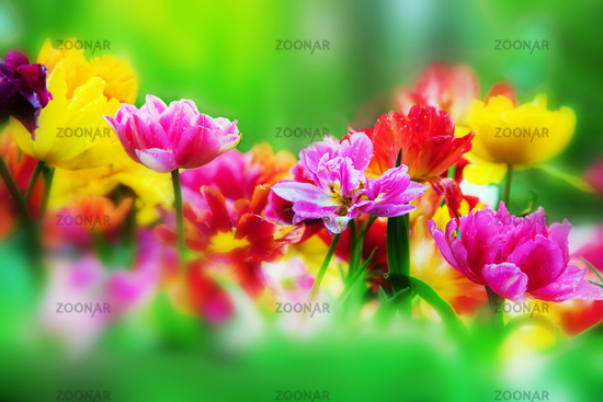 Colorful flowers in spring garden