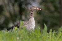Gray goose, (Anser anser), Hamburg, Germany, Europe