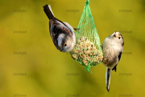 long tailed tit on a fatball