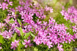 Phlox subulata pink flowering plant