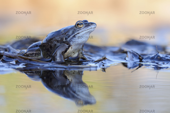 colors... Moor Frog *Rana arvalis*
