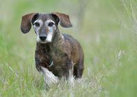 dachhund