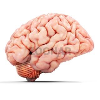 3d realistic detailed brain