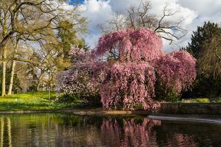 Higan cherry tree blossom
