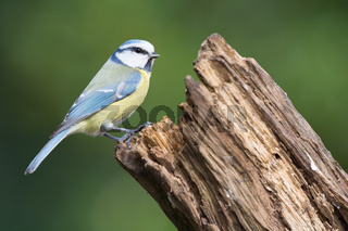 Eurasian blue tit in tree