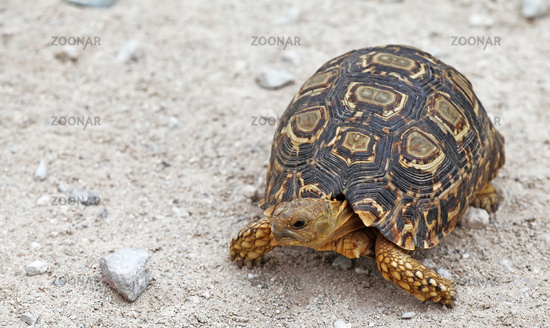 leopard tortoise, Namibia