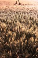 Weizenfeld unscharf als Hintergrund