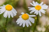 Chamomile flowers blurred background