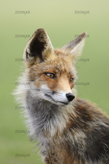 across the shoulder... Red fox *Vulpes vulpes*