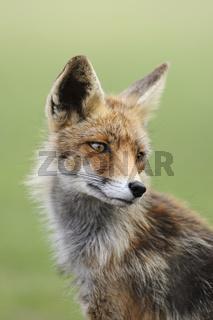 Fuchsportrait... Rotfuchs *Vulpes vulpes*