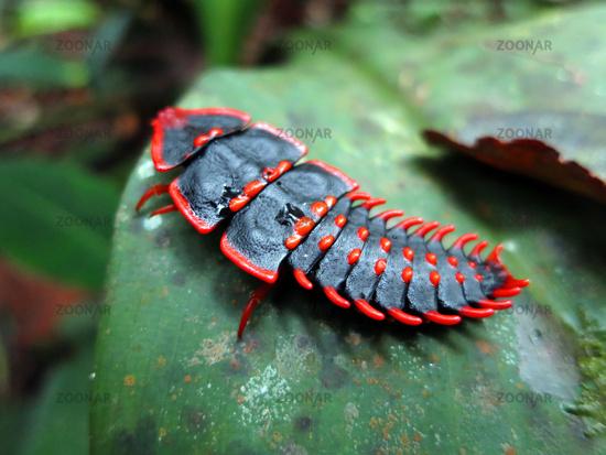Duliticola, trilobite beetle