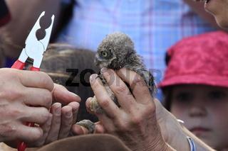 Junger Steinkauz beim  Beringen.  To ring a young little owl.