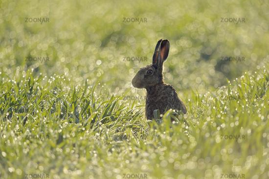 between sparkling dewdrops... European Hare *Lepus europaeus*