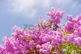 Lilac vibrant pink bunches shrub