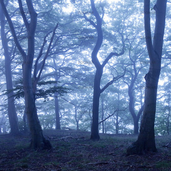 mysterious misty forest at dawn, Witten, Ruhr Area, North Rhine-Westphalia, Germany