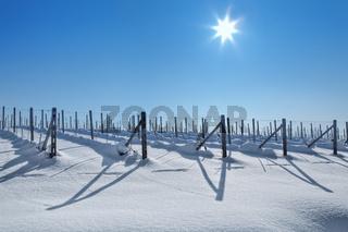 Snowy vineyards under blue sky at sunny day.