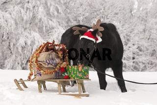 Welsh Pony mit Weihnachtsschlitten