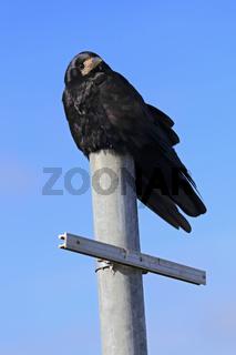 Corvus frugilegus, Saatkrähe, Rook