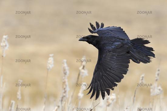 over reed... Common Raven *Corvus corax*