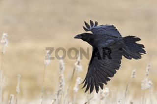 im Flug... Kolkrabe *Corvus corax*