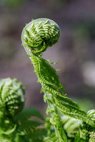 Unfolding young leave of the fern in the early spr