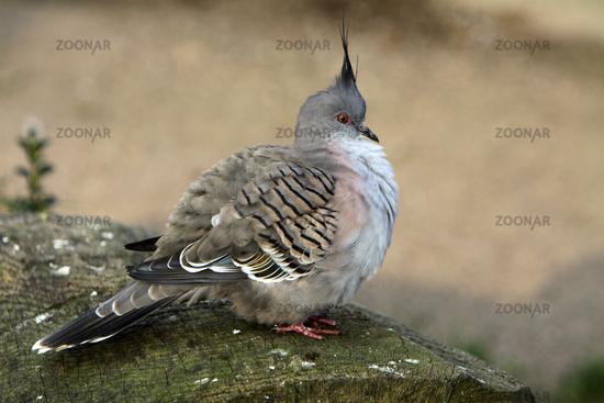 Crested Quail Dove