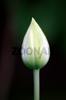 Tulpenknospe, weiß,  tropfenform