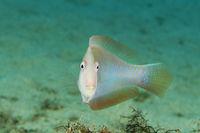 Xyrichthys novacula, Pearly razorfish
