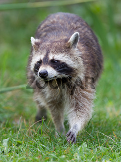 Close-up portrait of an adult raccoon